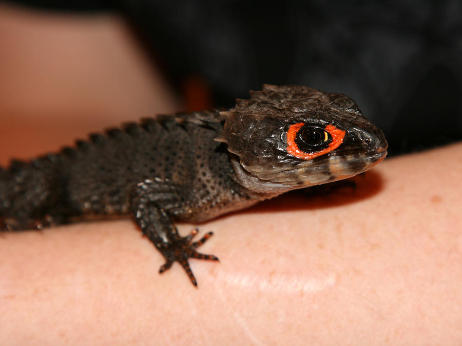 Tribolonotus gracilis by Tribolonotus
