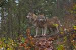 Grand Wolves