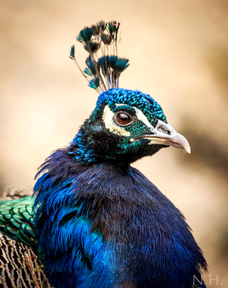 Peacock Portrait by Nedist