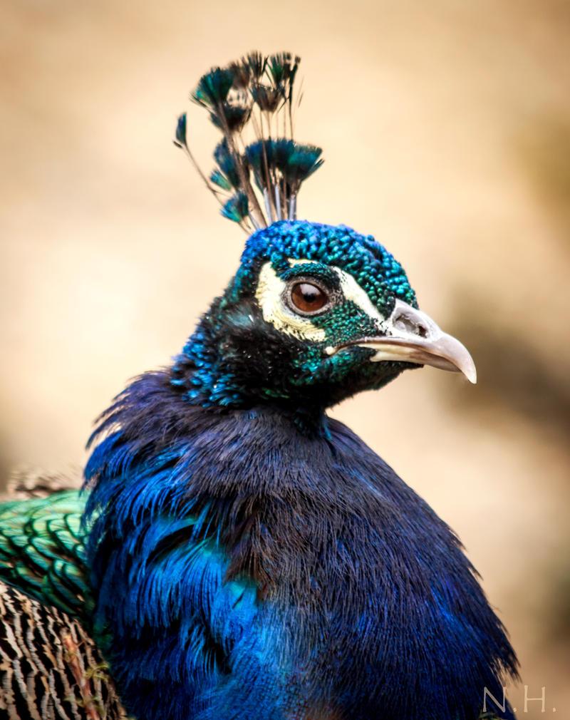 Peacock Portrait by Nedist