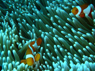 Anemona Fish by AlpacaSatanica