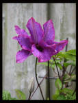 The first clematis