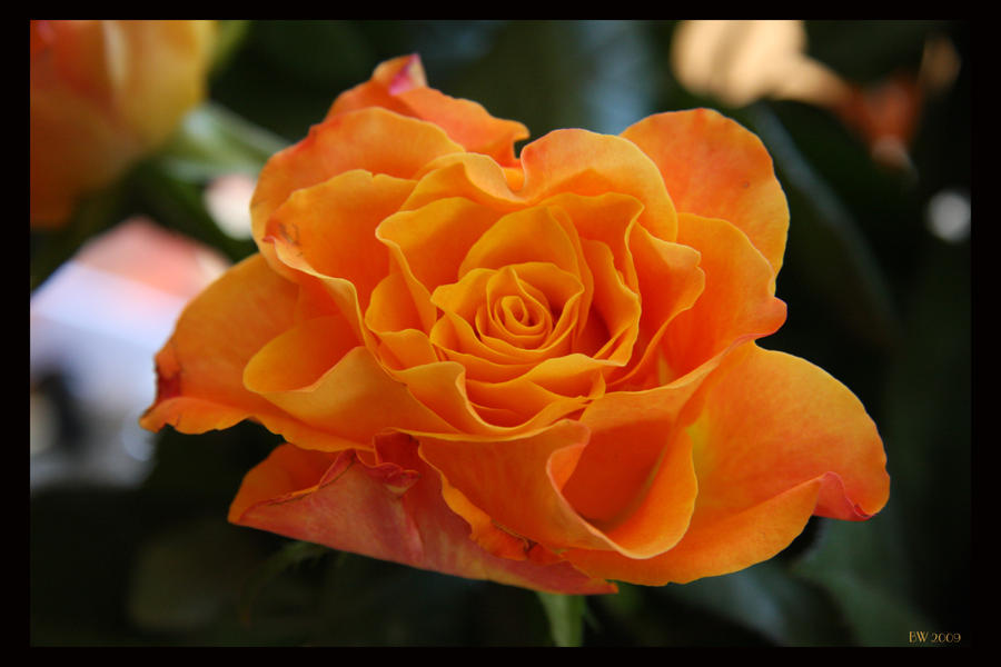 Orange Rose by Brigitte-Fredensborg