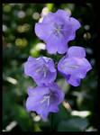 Blue Bellflower