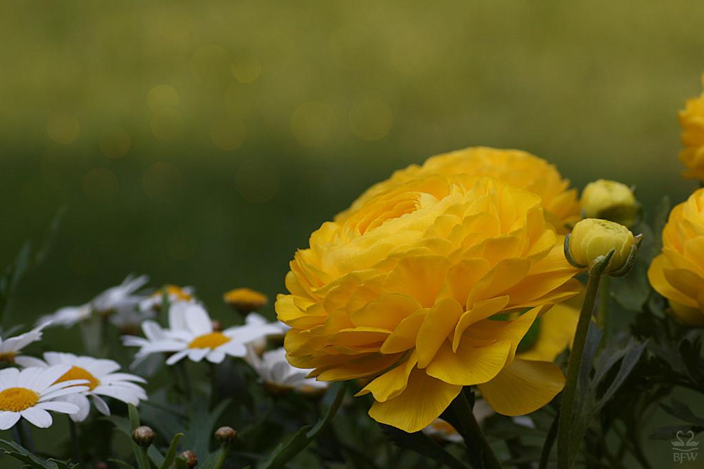 Ranunculus by Brigitte-Fredensborg