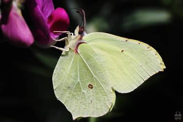 Brimstone Butterfly by Brigitte-Fredensborg