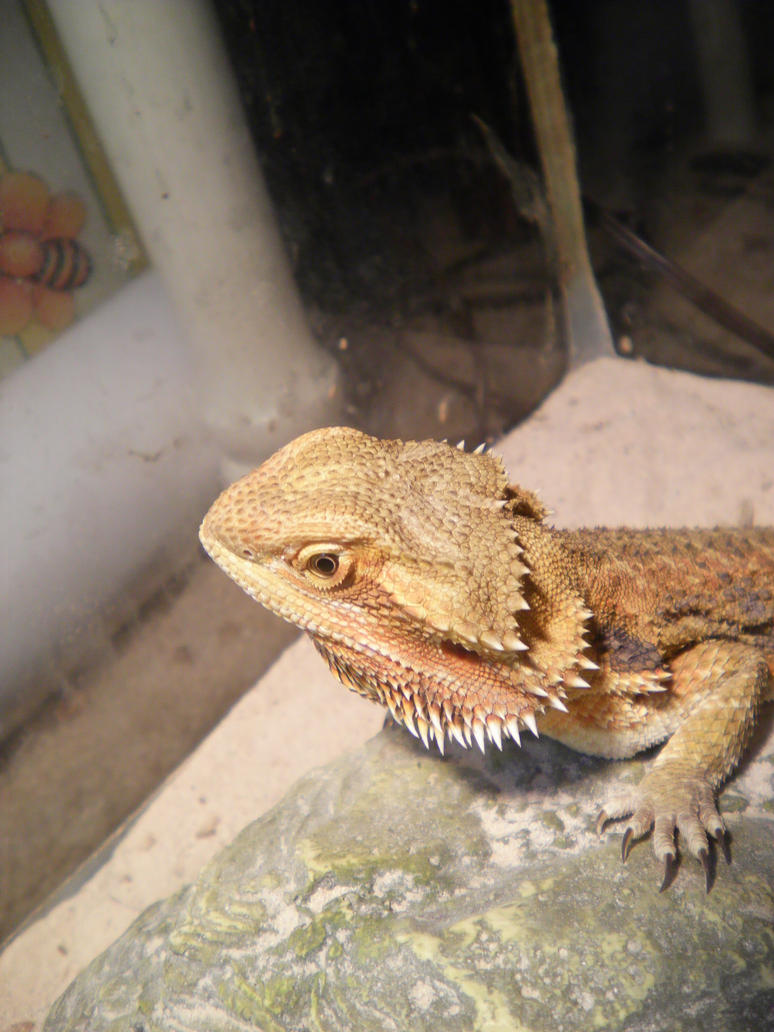 Ozzie the Beardie by Zill-the-Pill