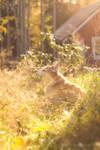 Corgi in the grass II