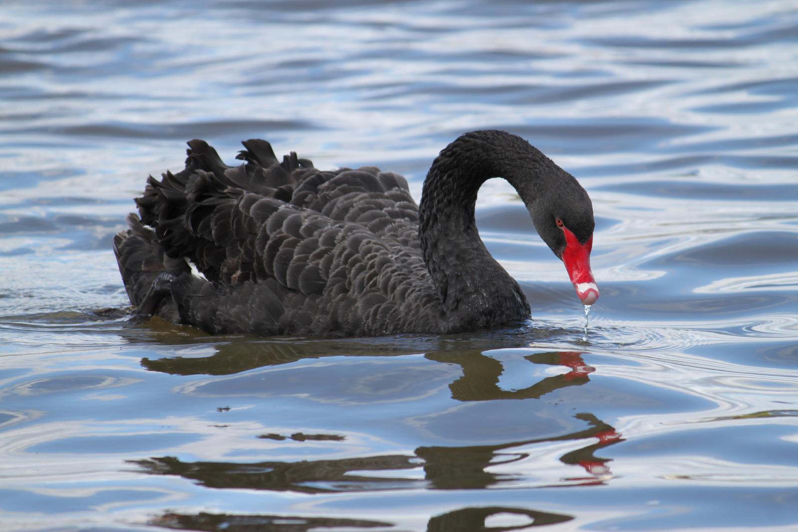 Black Swan by TarJakArt