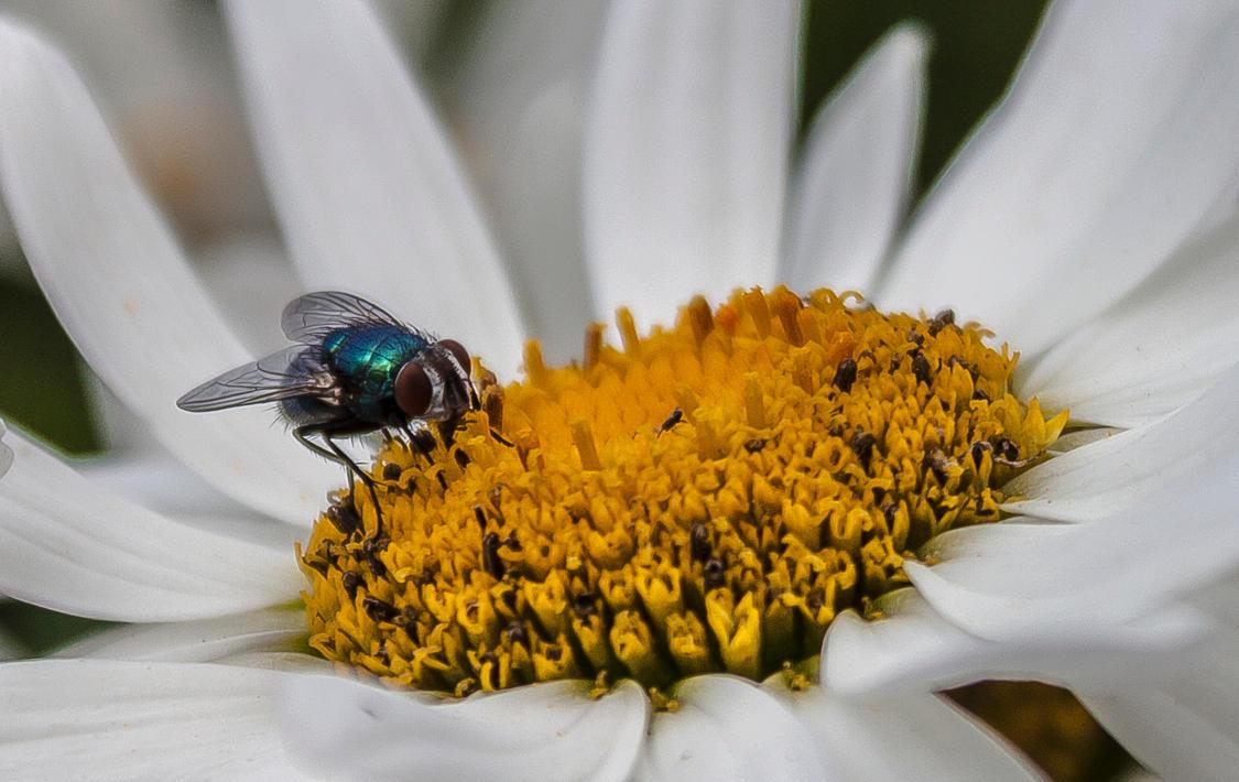 Blubottle Fly - Cropped by TarJakArt