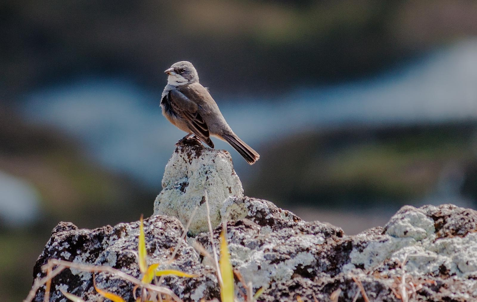 Common Diucal Finch - Easter Island by TarJakArt