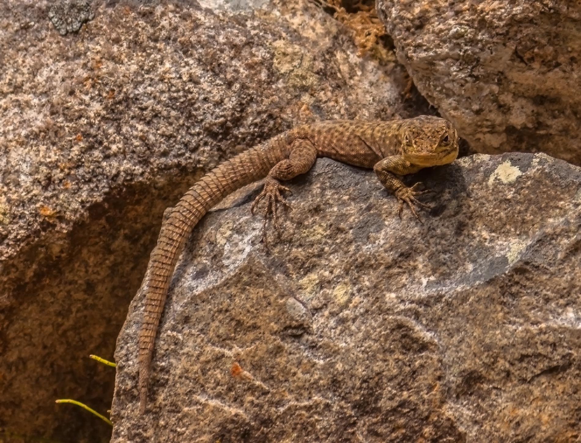 Spiny Whorltail Lizard -Machu Picchu by TarJakArt