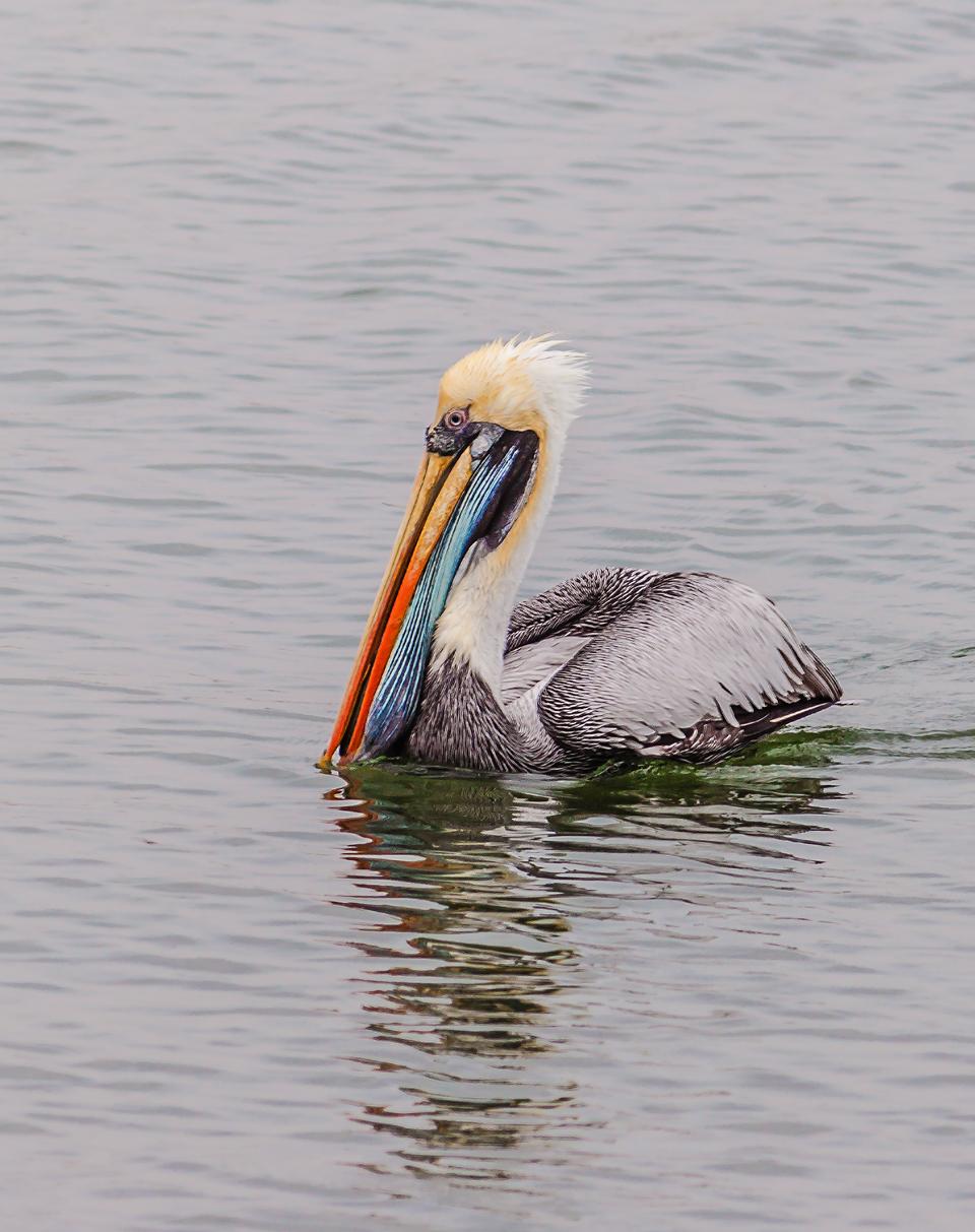 Pisco-Harbour Pelican by TarJakArt