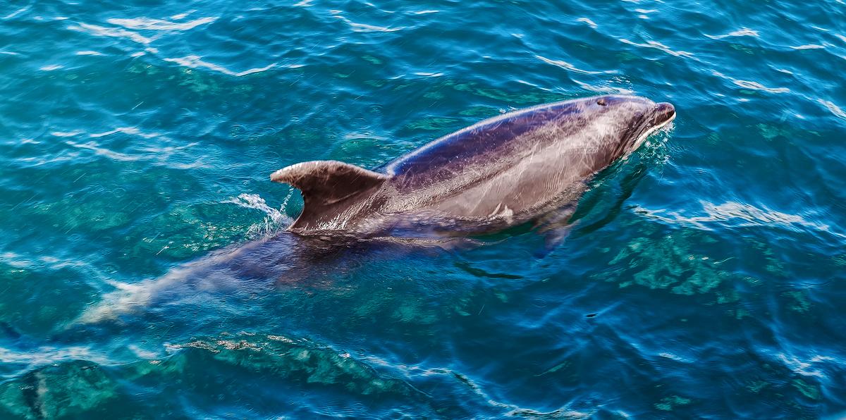 Bottlenose Dolphin by TarJakArt