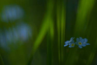 Forget-me-not II by Deemax