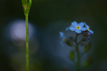 Forget-me-not III by Deemax