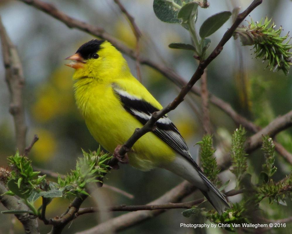 Goldfinch Song by vanwaglajam