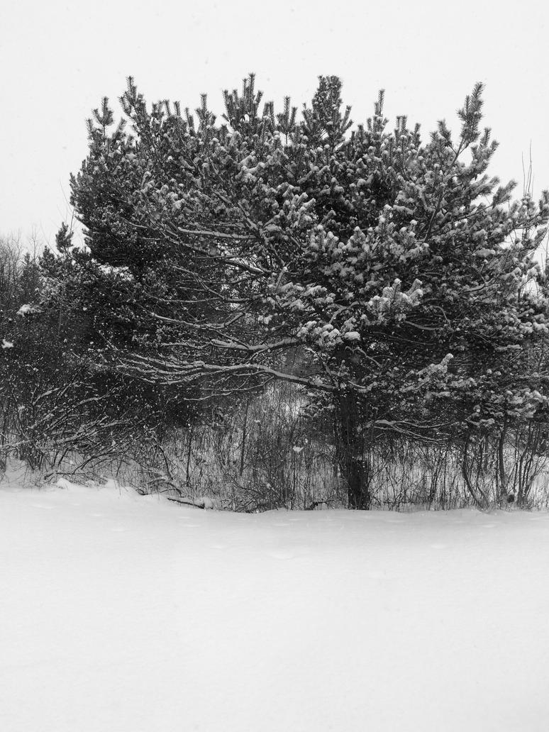 Winter Pine by fieoria