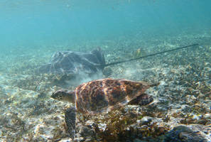 Baby turtle and stingray by Oddersnude