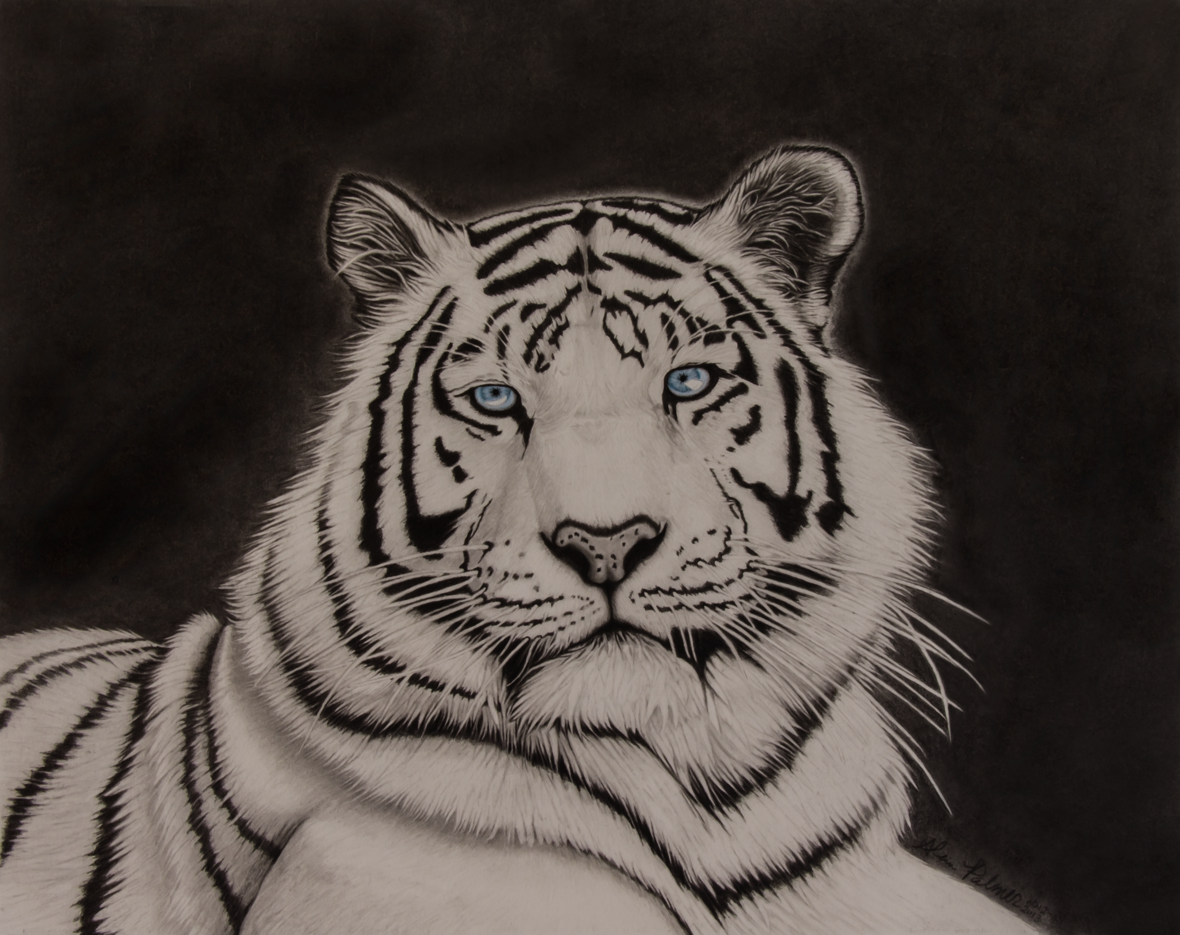 Drawings Of White Tigers White tiger pencil drawing byWhite Tiger Drawings