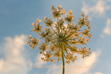 Queen Anne's Lace - Bugs Eye View