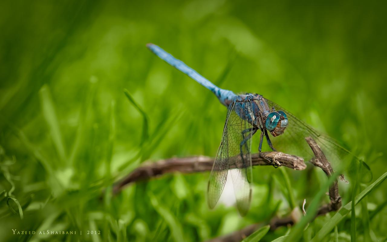 Blue dragon fly by YazeedART on DeviantArt