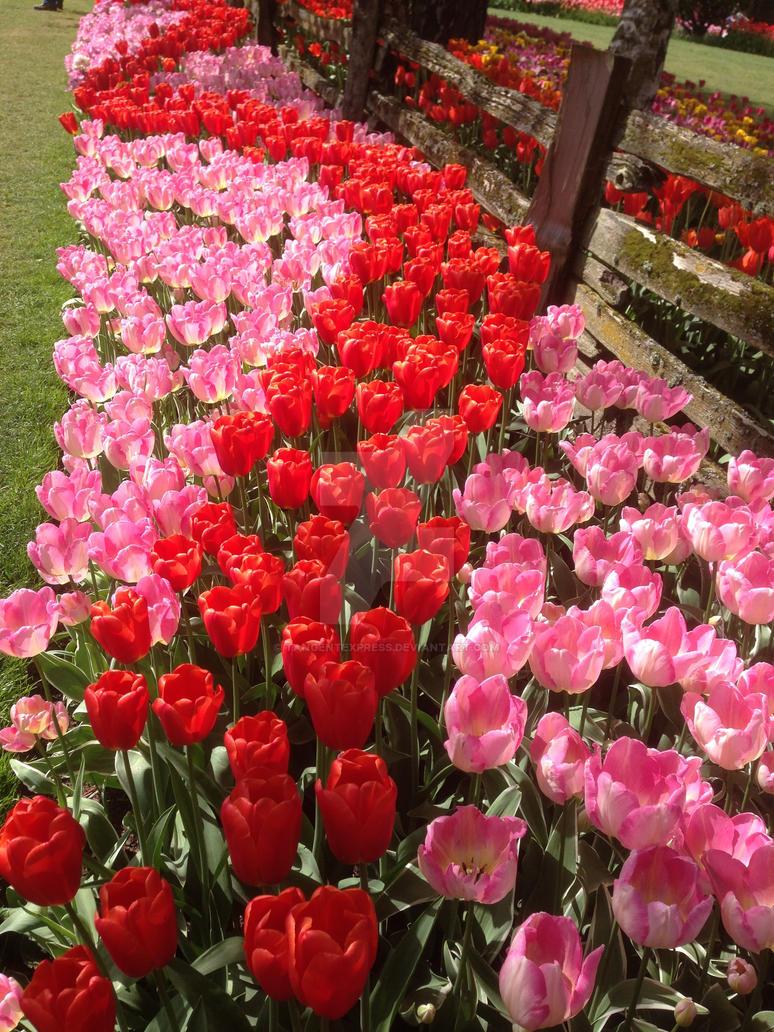 Tulips by TangentExpress