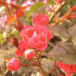 A Rose is a Rose is a Rose is a Rose by Armaiti-Zarich