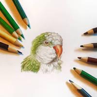 Quaker Parrot Portrait