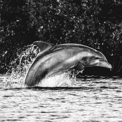 Black and White Dolphin