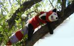 Fire ferret. Tree dweller