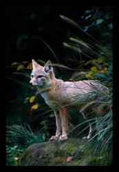 Corsac Fox.