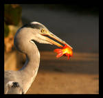 Wild Heron and His Bloody Fish