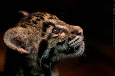 Clouded Leopard Kitten by sekhmet-neseret