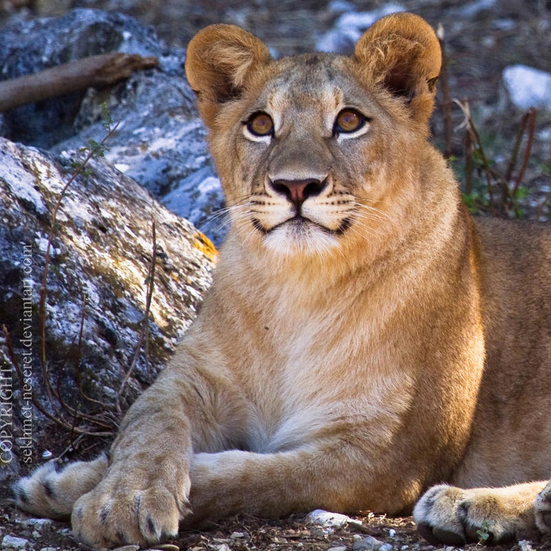 Nature Photography Lioness Large Yello Beautiful Angry