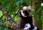 Impolite Lemur