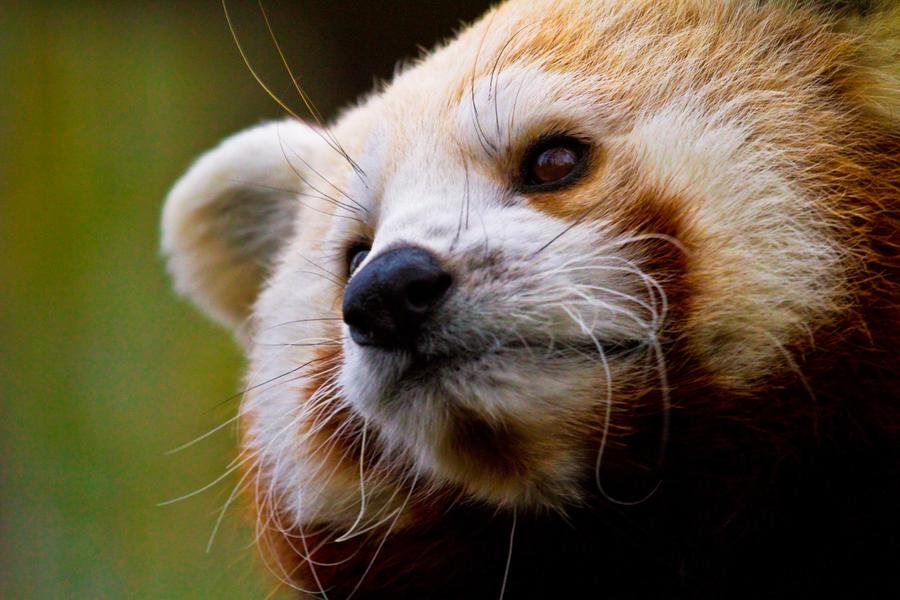 Panda by sekhmet-neseret