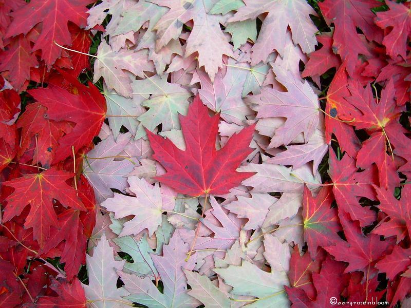 Oh Canada by adryroseinbloom