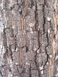 birch bark 3 by synesthesea