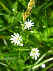 white petaled by synesthesea