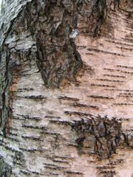 birch bark 1 by synesthesea