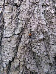 bark with a ladybug 1 by synesthesea