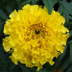 marigold by synesthesea