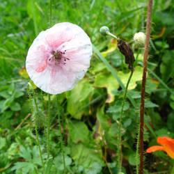 poppy pink by synesthesea