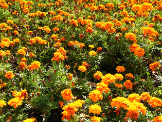 marigold field by synesthesea