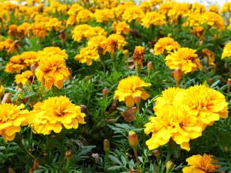 marigold yolk by synesthesea
