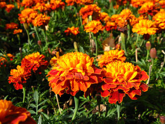 marigold couple by synesthesea