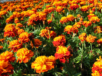 marigold field 2 by synesthesea