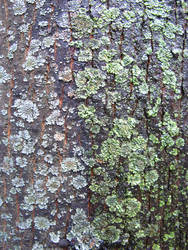 lichen moss 02 by synesthesea