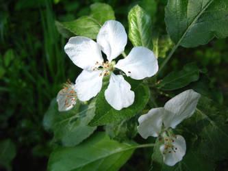 appletree blossom by synesthesea